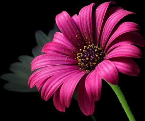 المرأة المسلمة.. المظلومة مرتين daisy_pollen_flower_220533.jpg?itok=lrt38_Eh